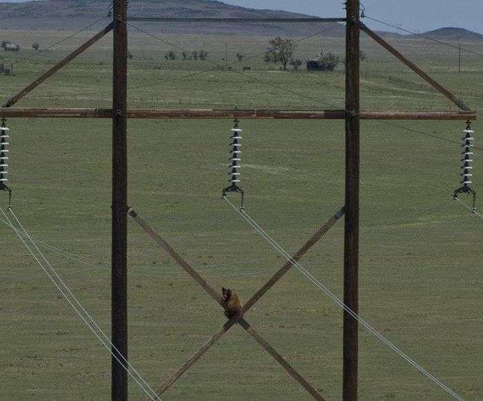 Ведмідь-екстремал, або як зняти ведмедя з ЛЕП (3 фото)