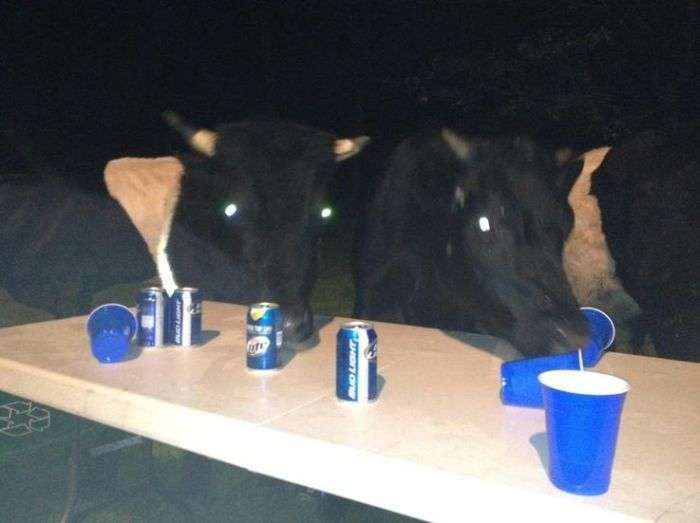 Корови люблять пиво (5 фото)