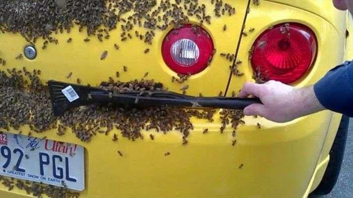 Chevrolet Cobalt SS облюбували бджоли (6 фото)