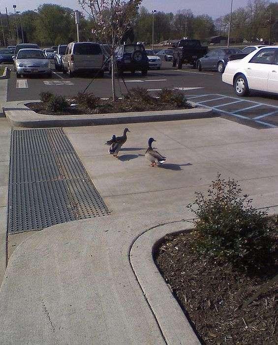 Качки на парковці (41 фото)