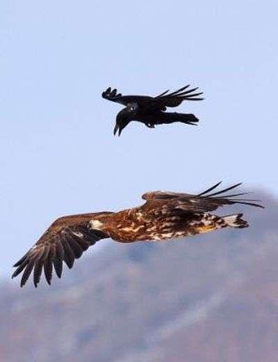 Нахабна ворона (4 фото)