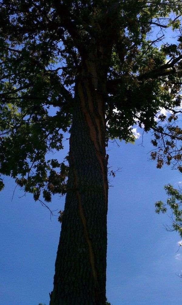 Дерево після удару блискавки (4 фото)