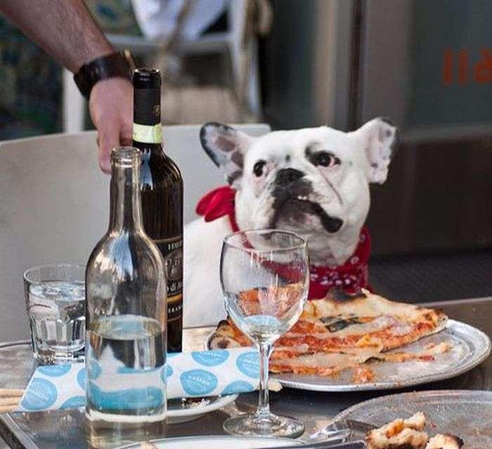 Собаки, які люблять піцу (20 фото)