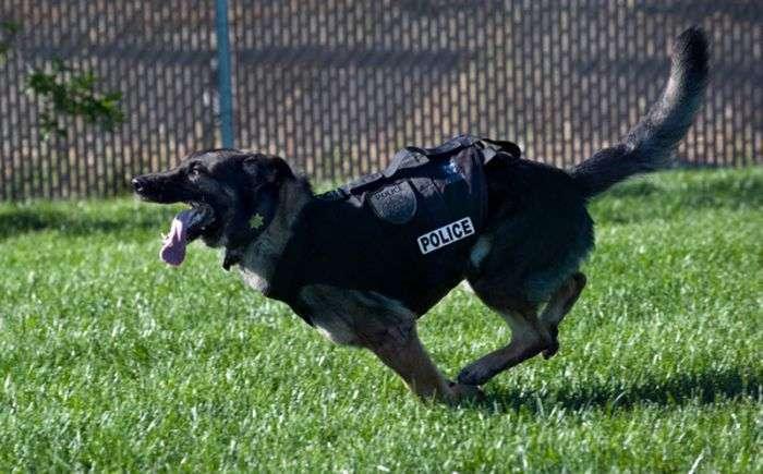 Відважна поліцейська собака (22 фото)