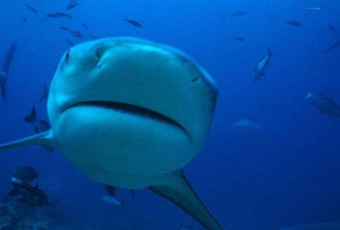 Акула-бик (26 фото)