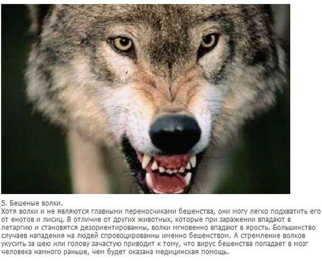 Факти про вовків (10 фото + текст)