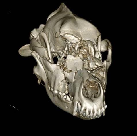 Немецкая овчарка после аварии получила бионическое лицо Новости в фотографиях,Великобритания,врачи,новости,собаки,фото