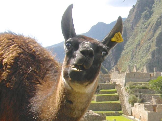 14 доказательств того, что ламы и альпаки — самые смешные животные в мире! Фото,pin,альпаки,животные,ламы,приколы