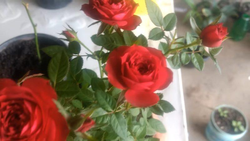 Действенный способ укоренить розу: алоэ вера вам в помощь! цветы